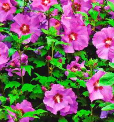 Садовая китайская роза
