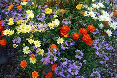 Растения цветы однолетники