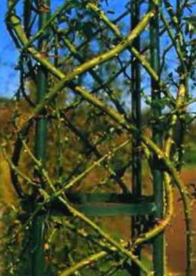 Плетистые розы типа rambler