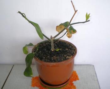 Комнатный лимон сбрасывает листья